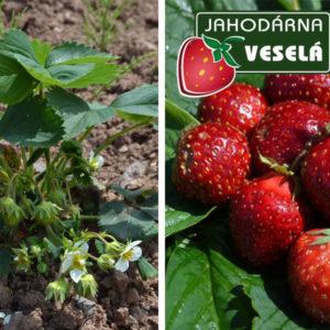 Odrůda jahodníku Kama